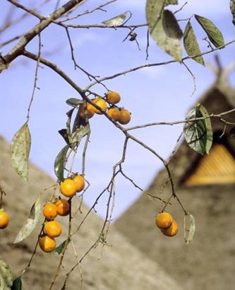 柿渋メイン